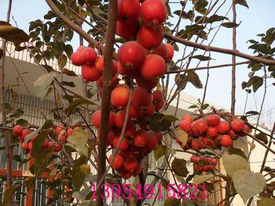 冬红海棠-中国木瓜海棠花木网